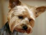 Yorkshire, storie animali, cane ferito, curare animali, amore per gli animali,